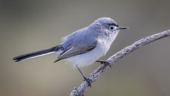Blue-gray Gnatcatcher (Eric Gofreed) Tags: bluegraygnatcatcher california gnatcatcher sandiego torreypinesstatereserve