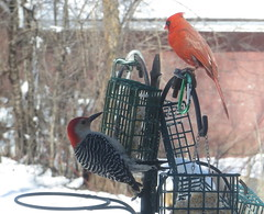 Red-bellied Woodpecker and Male Cardinal IMG_1881 (Ted_Roger_Karson) Tags: hairywoodpecker woodpecker canon sx280 hs powershot hand held camera northern illinois bird feeder snow female cardnial redbellied back yard friends backyard birds male full zoom telephotos redwinged miniature compact pocket seed cake animals suet telephoto thisisexcellent twop test photo minicompact food redbelliedwoodpeckerandmalecardinal malecardinal