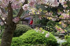 Sitting pretty (Lisa Roeder) Tags: hakonegarden hakone japanesegarden koipond sakuratree floweringcherrytree