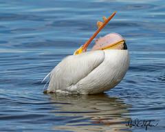 I've Swallowed Myself! Somebody HELP!!! (dcstep) Tags: pelican americanwhitepelican preening sonya9 fe400mmf28gmoss fe20xteleconverter allrightsreserved copyright2019davidcstephens dxophotolab22 cherrycreekstatepark greenwoodvillage colorado usa lake reservoir water cherrycreekreservoir bird blue black dsc9422dxo
