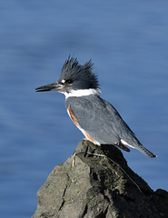 Queen of the rock (Snixy_85) Tags: kingfisher beltedkingfisher megacerylealcyon