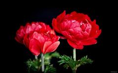 red anemones (Christine_S.) Tags: canon flowers flower blackbackground eos m5 mirrorless japan macro closeup bright
