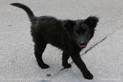 Blowzy puppy (srkirad) Tags: animal dog puppy baby black blowzy cute tongue hairy