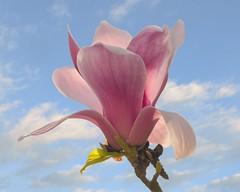 Magnolia in the clouds (Roland B43) Tags: magnolia clouds sky pink flower arboretum hetleen eeklo belgium