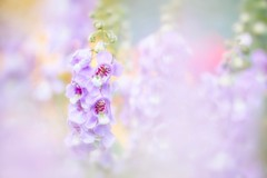 Angel's Flowers (Anna Kwa) Tags: angeloniasalicariifolia summersnapdragon angelflower narrowleavedangelon angelonia summerorchid flowers macro bokeh nature annakwa nikon d750 1050mmf28 my feeling thousand voices love sing always seeing heart soul throughmylens life journey fate destiny memories garybarlow unspoken angel dream