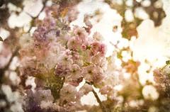 Endless Blossom (judy dean) Tags: batsford velvet56 plants lensbaby gardens judydean 2019 arboretum spring blossom pink cherry