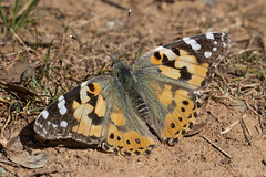 Vanessa cardui (ramosblancor) Tags: naturaleza nature animales wildlife insectos insects mariposas butterflies vanessacardui vanesadeloscardos paintedlady color primavera spring guadalajara españa spain