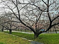 20190401_172544-IMG_6796 (dudegeoff) Tags: osaka japan 2019 april osakacastle 20190323b0401bkixosakacastle cherryblossoms rain flowers