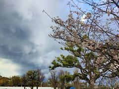 20190401_163524-IMG_6795 (dudegeoff) Tags: osaka japan 2019 april osakacastle 20190323b0401bkixosakacastle flowers
