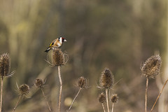 Goldfinch And Thistles (samueledwardhyde) Tags: outside wildlife wildlifephotography animal bird goldfinch yellow brown red black british thistle finch nature nikon nikkor natural millers wood white