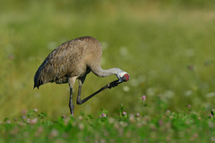SandHillCraneItch1 (Rich Mayer Photography) Tags: sandhill sand hill crane cranes bird birds animal animals wild life wildlife nature avian fly flying flight cell phone phones nikon