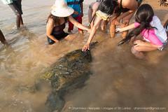 IMG_7629.jpg (Dhammika Heenpella / CWSSIP Images of Sri Lanka) Tags: dhammikaheenpella petting traveldestination ශ්රීලංකාවේෆොටෝ ශ්රීලංකාවේචායාරූප ධම්මිකහීන්පැල්ල placeofinterest turtle ශ්රීලංකාව imagesofsrilanka srilanka placesofinterest touching hikkaduwabeach