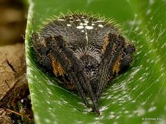 Orbweaver, Eriophora sp. (Ecuador Megadiverso) Tags: andreaskay arachnida araneidae ecuador focusstack orbweaver spider eriophora