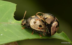 Beetles mating, Platyphora sp., Chrysomelidae (Ecuador Megadiverso) Tags: andreaskay beetle chrysomelidae coleoptera ecuador platyphorasp