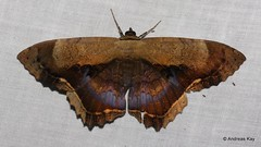 Noctuid Moth, Letis maculicollis, Calpinae (Ecuador Megadiverso) Tags: andreaskay calpinae ecuador erebidae letismaculicollis moth noctuidmoth noctuidae owletmoth wildsumaco