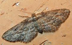 Geometer, Eupithecia sp., Tubac, AZ (Seth Ausubel) Tags: geometridae moth larentiinae az