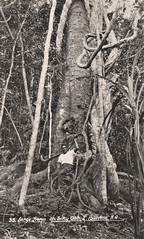 Large Silky Oak at Lake Barrine, Qld - very early 1900s (Aussie~mobs) Tags: lakebarrine silkyoak tree vintage queensland australia aborigine