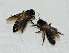 Kuala Tahan DSCN6324 (Petr Novák (新彼得)) Tags: kualatahan 马来西亚 malajsie 亚洲 asia asie 动物 animal 昆虫 insect hmyz invertebrate macro nature wildlife night 膜翅目 blanokřídlí hymenoptera bee