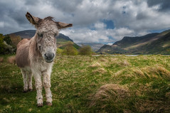Hello my friend X (Einir Wyn Leigh) Tags: donkey landscape rural love animal nature natural mountains wales lake colorful outdoors outside beauty clouds uk nikon