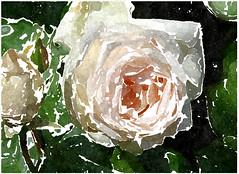 Blasse Lippen des Geliebten (amras_de) Tags: rose rosen ruža rosa ruže rozo roos arrosa ruusut rós rózsa rože rozes rozen roser róza trandafir vrtnica rossläktet gül blüte blume flor cvijet kvet blomst flower floro õis lore kukka fleur bláth virág blóm fiore flos žiedas zieds bloem blome kwiat floare ciuri flouer cvet blomma çiçek zeichnung dibuix kresba tegning drawing desegnajo dibujo piirustus dessin crtež rajz teikning disegno adumbratio zimejums tekening tegnekunst rysunek desenho desen risba teckning çizim