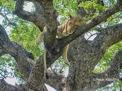 Lion - Löwe (peterkaroblis) Tags: lion löwe pantheraleo hluhluwe southafrica