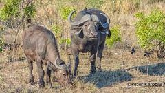 African Buffalo - Afrikanischer Büffel (peterkaroblis) Tags: büffel buffalo synceruscaffer sabiesand southafrica