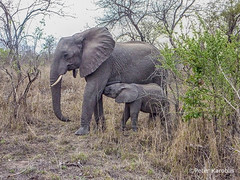 African Elephant - Afrikanischer Elefant (peterkaroblis) Tags: elefant elephant loxodontaafricana sabiesand southafrica babyelephant