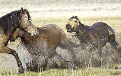 Scuffle Up Close (raineys) Tags: wildmustangs horse nature california specanimal