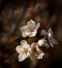 Plum Tree Blooms (http://fineartamerica.com/profiles/robert-bales.ht) Tags: forupload fruit gemcounty haybales idaho people photo places plants projects states tree plum spring bloom flower blooming garden blossom nature plant plumtree stonefruit plantation fruittree treeblossom agriculture fruittrees plumblossom white beautiful closeup whiteflowers plumflowers floweringtree orchard close pollination macro pollen pink earlyspring march beneficial environment fresh robertbales squareformat square