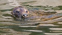 Halichoerus grypus - a Grey Seal at Skansen Zoo in Stockholm (Franz Airiman) Tags: säl seal gråsäl greyseal grayseal animal djur djurpark zoo mammal däggdjur stockholm sweden scandinavia