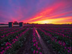 Skagit Valley Magenta Skies (www.mikereidphotography.com) Tags: skagit tulip skagitvalleytulipfestival skagittulipfestival flowers fields sunset tulips fuji gfx50s 23mm northwest washington nw
