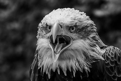 Bald Eagle (Linda Martin Photography) Tags: bird hampshire haliaeetusleucocephalus baldeagle ringwood libertysraptorcentre blackwhite naturethroughthelens coth5