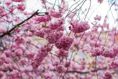 20190416 Sakura stund på staden (Sina Farhat) Tags: sakura seminarieparken järntorget cherryblossom soligt sunny spring vår göteborg gothenburg sweden sverige 031 raw canon7d canon50mm14usm sigma1020456 lightroomclassiccc