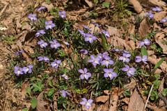 Viola pedata (Bird's-foot Violet) (jimf_29605) Tags: violapedata birdsfootviolet persimmonridgeroad greenvillecounty southcarolina wildflowers sony a7rii 24240mm