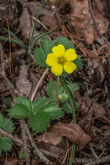 Potentilla simplex (Common Cinquefoil) (jimf_29605) Tags: potentillasimplex commoncinquefoil persimmonridgeroad greenvillecounty southcarolina wildflowers sony a7rii 24240mm