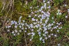 Houstonia caerulea (Azure Bluet) (jimf_29605) Tags: houstoniacaerulea azurebluet persimmonridgeroad greenvillecounty southcarolina wildflowers sony a7rii 24240mm