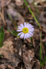 Erigeron pulchellus (Robin's Plantain) (jimf_29605) Tags: erigeronpulchellus robinsplantain persimmonridgeroad greenvillecounty southcarolina wildflowers sony a7rii 24240mm