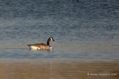 Canada Goose (Ashley Middleton Photography) Tags: cricklade lmf animal bird canadagoose england europe goosegeese lowermoorfamnaturereserve unitedkingdom wiltshire cotswoldwaterpark