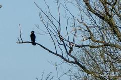 Cormorant (Ashley Middleton Photography) Tags: cricklade lmf animal bird cormorant england europe gannetscormorants lowermoorfamnaturereserve seabird unitedkingdom wiltshire cotswoldwaterpark