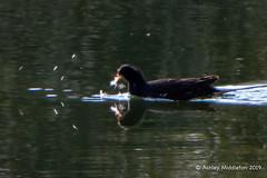 Moorhen (Ashley Middleton Photography) Tags: cricklade lmf animal bird england europe lowermoorfamnaturereserve moorhen unitedkingdom wiltshire cotswoldwaterpark