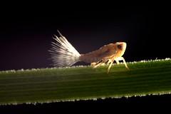 Leaf Hopper (Craig Tuggy) Tags: thailand bangkok macro reverse lens insect nature leaf hopper