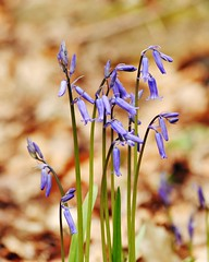 Photo of The first bluebells