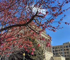 blossoms are coming! (ekelly80) Tags: dc washingtondc spring march2019 masonictemple blossoms earlyblossoms cherryblossoms flowers pink