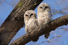 Tawny Owl - Waldkauz (rengawfalo) Tags: eule owl brownowl tawnyowl strixaluco vogel bird animal wildlife nature natur kauz vögel waldkauz tree birder birding outdoor wood forest ästlinge junge jungtier