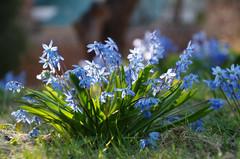 IMGP7409 (PahaKoz) Tags: весна природа флора сад цветение цветы пролеска spring nature flora garden blossom bloom blossoming flowers scilla scillasiberica