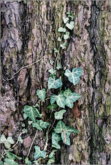 Ancient Bark (mikeyp2000) Tags: ivy bark forest tree ancient old