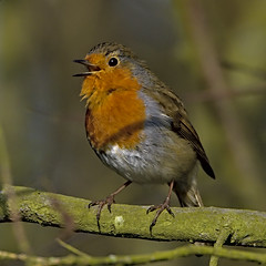 Robin 1  16 Apr 2019 (Tim Harris1) Tags: nikond7100 nikkor80400afs norfolk sculthorpemoor robin bird