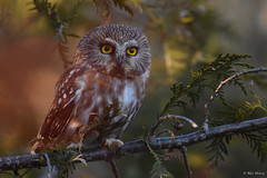 Northern Saw-Whet Owl (aj4095) Tags: northern saw whet owl nature wildlife bird tree nikon ontario canada