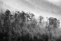 - (dirojas) Tags: leica m240 90mm summicron pirihueico chile trees fog bw lake