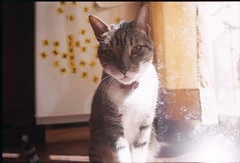 Vicente (☾arimelo) Tags: catboy analoguexposure doublexposure fuji200 analoguelove filmphotography filmisnotdead morninglight homesweethome rokkor28mm minoltasrt101 gato catlove vicente
